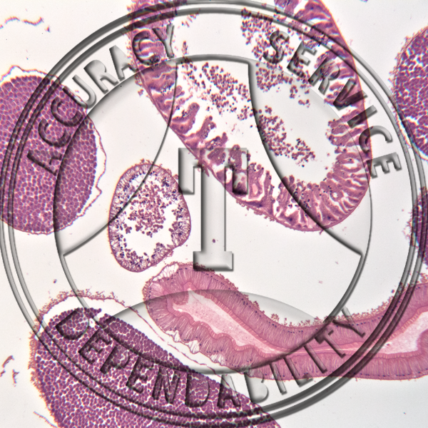 Ascaris CS Male Female Prepared Microscope Slide